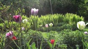 Rain flowers fern garden. Rain water drops fall on sun illuminated colorful tulip flower blooms and fern plants grow in spring garden stock video footage