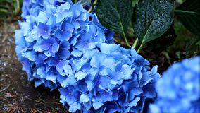 Rain on flowers. Rain falling on large blue blooms stock video
