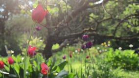 Rain flowers tree garden. Sun illuminated colorful tulip flower blooms grow under decorative tree in garden and rain water drops fall stock footage