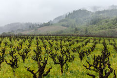 Rain and fog in a California vineyard with gnarly vines Stock Images