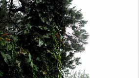 Rain, Fog, Mist Over Tree and Vegetation Background or Title Video. Ideal as a video where text, such as a title, can be superimposed on the right side; it shows stock video footage