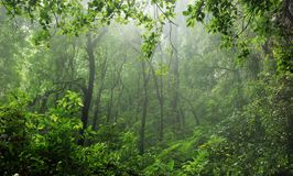 Rain-forest. A misty rain-forest in Puerto Rico Royalty Free Stock Image