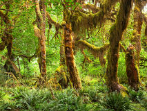 Rain Forest. HDR composition of Hoh Rain Forest, in Olympic National Park Royalty Free Stock Photography