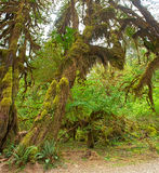 Rain Forest. HDR composition of Hoh Rain Forest, in Olympic National Park Royalty Free Stock Photos