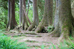 Rain forest. Row of trees in largest rain forest in the western hemisphere, in Olympic National Park, Washington, USA Royalty Free Stock Image