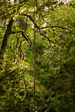 Rain forest. Climber plant in the Costa Rican rain forest Stock Images