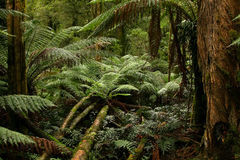 Rain forest. Australia, VIC, 2008 Royalty Free Stock Photography