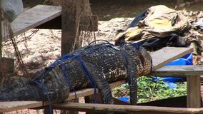 Rain forest Crocodile tied up animal cruelty Amazon. Amazon rain forest cruelty crocodile tied up stock footage