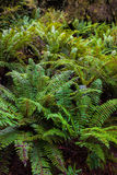 Rain forest. Fern and moss cover logs in the forest Stock Images
