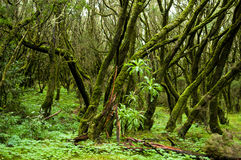 Rain forest in Garajonay national park (La Gomera). Evergreen rain forest in Garajonay national park Stock Photography