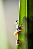 Rain forest, natural environment, exotic frog Stock Photography