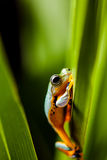 Rain forest, natural environment, exotic frog Stock Photos