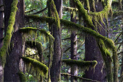 Rain Forest North West. Fraser Valley Rain Forest  Light shines through the Spanish Moss Stock Image