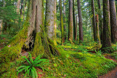 Rain Forest in Oregon Royalty Free Stock Image