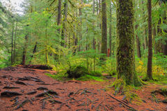 Rain Forest in Oregon Royalty Free Stock Photography