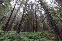 Rain Forest Pacific North West. Pacific North West Rain Forest, Fraser Valley Stock Images