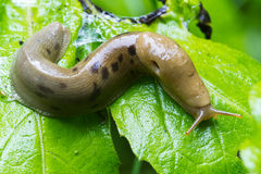 Rain forest slug Royalty Free Stock Photography
