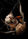 Rain forest spider eating prey Royalty Free Stock Image