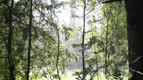 Rain in the forest. Sun and rain. Spruce forest. Rain in forest of green trees stock video