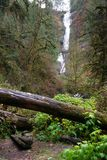 Rain Forest Trail Wet Gravel Lush Green Woods Waterfall. A path has been cut through logs and under brush into the wet rainforest ending at a waterfall stock photos