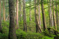 Rain forest trees off the coast Haida Gwaii, British Columbia, Canada. Royalty Free Stock Image