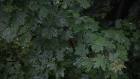 Rain in the forest. The trees stand in the rain in the yard. Leaves in the rain. Close up of water drops on fresh green. Rain in the forest. The trees stand in stock video footage