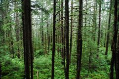 Rain Forest Trees and Vegetation. Rain forest deap trees and green vegetation in Glacier Gardens, Juneau, Alaska Stock Image