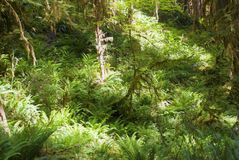 Rain forest vegetation. Greens of mossy trees and ferns in early morning light Royalty Free Stock Photo