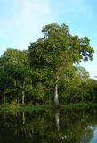 Rain forest at water banks of Amazon River Brazil. Rain forest trees at water banks, on Rio Negro in the Amazon River basin, Brazil, South America royalty free stock photography