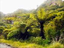 Rainforest. Ancient rainforest - temperate forest, unique tree ferns (Tasmanian tree fern). New Zealand, Australia, Tasmania Royalty Free Stock Image