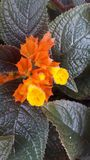 Yellow is a beautiful flower in sri lanka.name kaha dia royalty free stock image