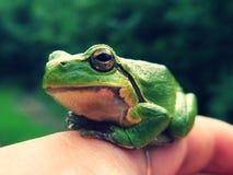 The rain frog. Royalty Free Stock Photography
