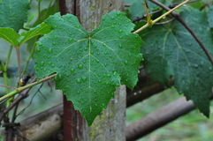 After rain grape leaf Stock Photography