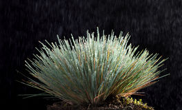 Rain and grass tussock. Closeup of grass tussock  in rain with rain drops on blades over dark background Royalty Free Stock Photography