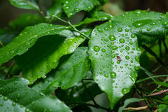 Rain on a green leaf.Closeup natural view of green leaf with cop Royalty Free Stock Image