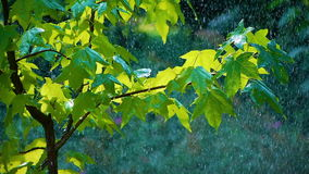 Rain on the Green Leaves. Summer Warm rain pours green leaves. Raindrops glisten in the sunlight stock footage