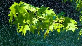 Rain on the Green Leaves. Summer Warm rain pours green leaves. Raindrops glisten in the sunlight stock video