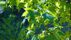 Rain on the Green Leaves. Summer Warm rain pours green leaves. Raindrops glisten in the sunlight stock video footage