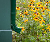 Rain Gutter Drain. And Brown Eyed Susans Royalty Free Stock Photography