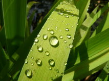 Rain on the iris leaf Stock Photography