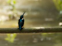 Common Kingfisher on a bumboo. After rain this kingfisher is waiting for his mil. the rain drops under the bamboo Stock Image