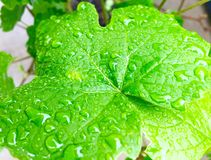 Rain kissed. Grape leaf, vibrant green kissed with raindrops stock photography