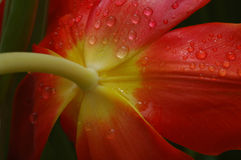 Rain Kissed Tulip. Tulip bottom covered with dew drops stock photo