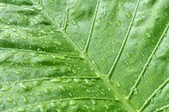 Rain and leaf. After the rain, the water on the leaves Stock Photography