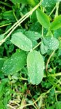 Rain and leaf. Rainy weather green Royalty Free Stock Photo
