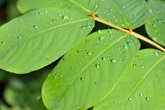 Rain on leaves Royalty Free Stock Photo