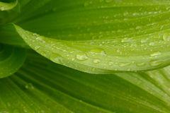Rain on Leaves Detail Royalty Free Stock Photography