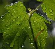 Rain on Leaves. Leaves after a summer shower with the forest compacted into some of the drops Royalty Free Stock Image