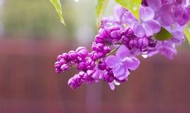 Rain lilac royalty free stock photo