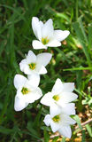 Rain Lilies. These tiny rain lilies sprout forth in the summer time after a rain shower. They are brilliantly white, with green centers and yellow stamen royalty free stock images